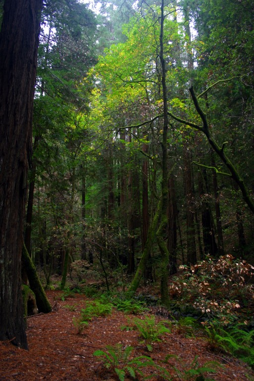 An image of a maple tree in the Muir Woods redwood forest