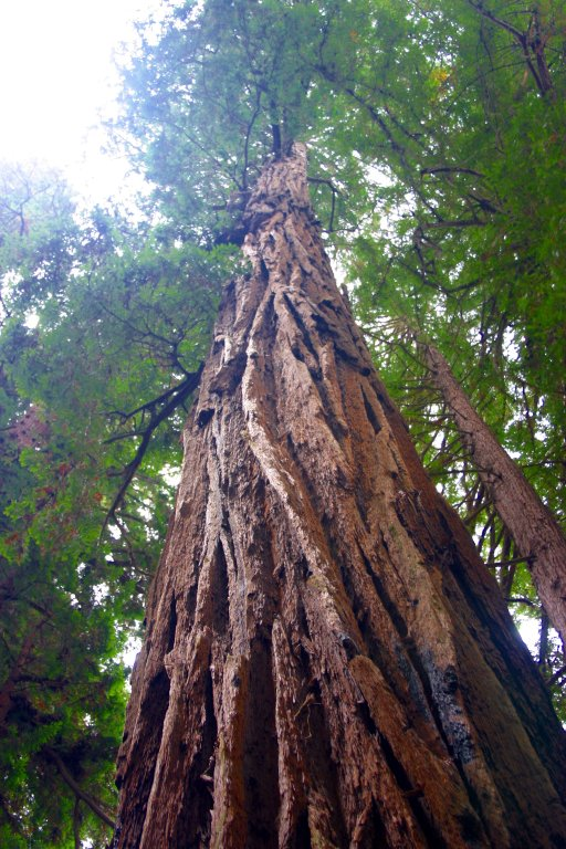 An image of a large redwood in the Muir Woods redwood forest